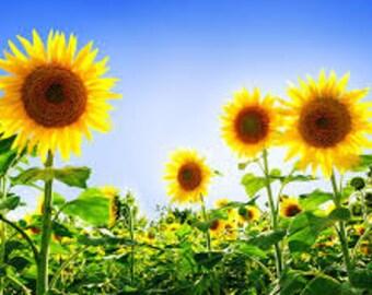 Sunflower Premium Fragrance Oil  Available In Several Sizes