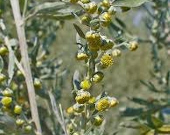 Wormwood (Artemisia Absinthium) Pure Essential Oil Available In Several Sizes