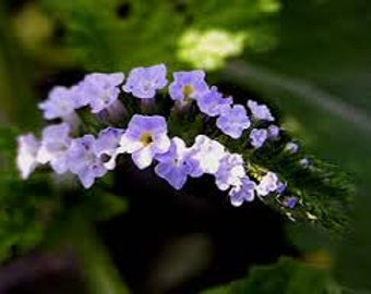 Heliotrope Fragrance Oil