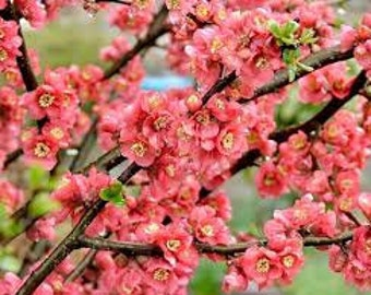 Peach Blossom Premium Fragrance Oil Available In Several Sizes