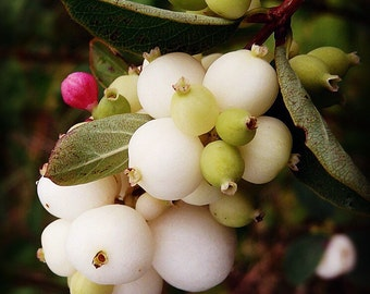 Snowberry Premium Fragrance Oil Available In Several Sizes