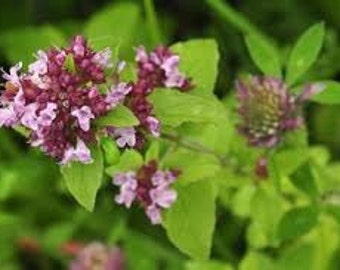 Marjoram (Sweet) (Origanum Marjorana)  Pure Essential Oil Available In Several Sizes