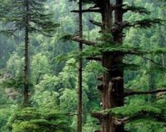 Cedarwood Himalayan (Cedrus Deodora) Pure Essential Oil
