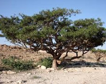 Frankincense ( Boswellia Carterii  )  Essential Oil Available In Several Sizes