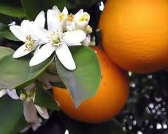 Neroli ( Citrus Aurantium ) Pure Essential Oil Available In 1/2 - 1 - 2 - 4 - 8 - 16  Ounce Sizes