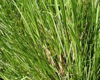 Vetiver (Vetiveria Zizanoides) Essential Oil Available In 1/2 - 1 - 2 - 4 - 8 - 16  Ounce Sizes