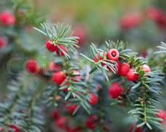 Spruce & Berries Fragrance Oil