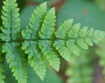 Fern Premium Fragrance Oil  Available In Several Sizes