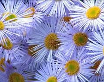 Chamomile Blue Pure Essential Oil (Matricaria Chamomilla)