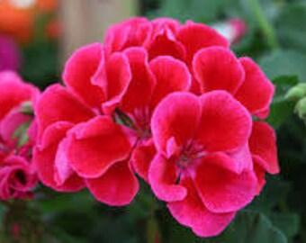 Geranium (Pelargonium Graveolens ) AKA ROSE GERANIUM Pure Essential Oil Available In Several Sizes