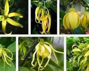 Ylang Ylang  (Cananga Odorata) Essential Oil Used In Bath An Body Products Use For Aroma Therapy Use To Make Natural Remedies And More