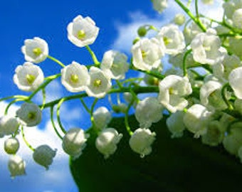 Lily Of The Valley Fragrance Oil  Use To Make *Soap* Candles* Perfume* Diffuse* Wax Melts