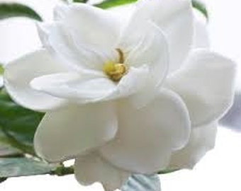 Gardenia Premium Fragrance Oil  Available In Several Sizes