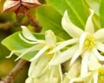 Anise Star (Illicium Verum) Pure Essential Oil  Available In Many Sizes