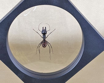 taxidermy real insects : One fridge magnet bullet ant 80 X 60 mm FREE SHIPPING Fridge magnet