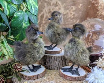 Movable legs Sale Taxidermy Long Island Baby Duck Duckling Bird collectible specimen curiosity cabinet farm kitchen decor ONE  A