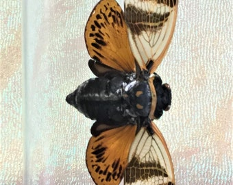 N16 Entomology Taxidermy Lg Locust Cicada Specimen Glass Dome Display insect bug collectible specimen