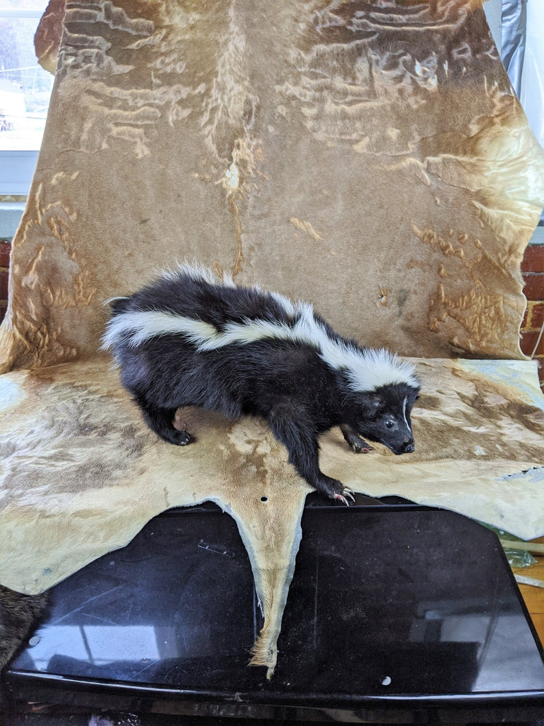 Skunk #6 Taxidermy large Skunk standing mount collectible specimen Adorable Oddity Curiosity Cabinet Home Decor Educational Oddities