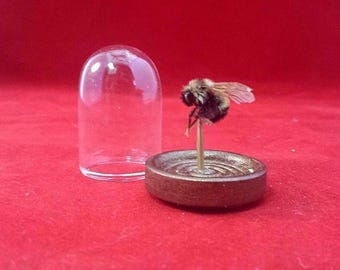 SALE!  Taxidermy Entomology Specimen Bumble Bee Glass Dome Display educational