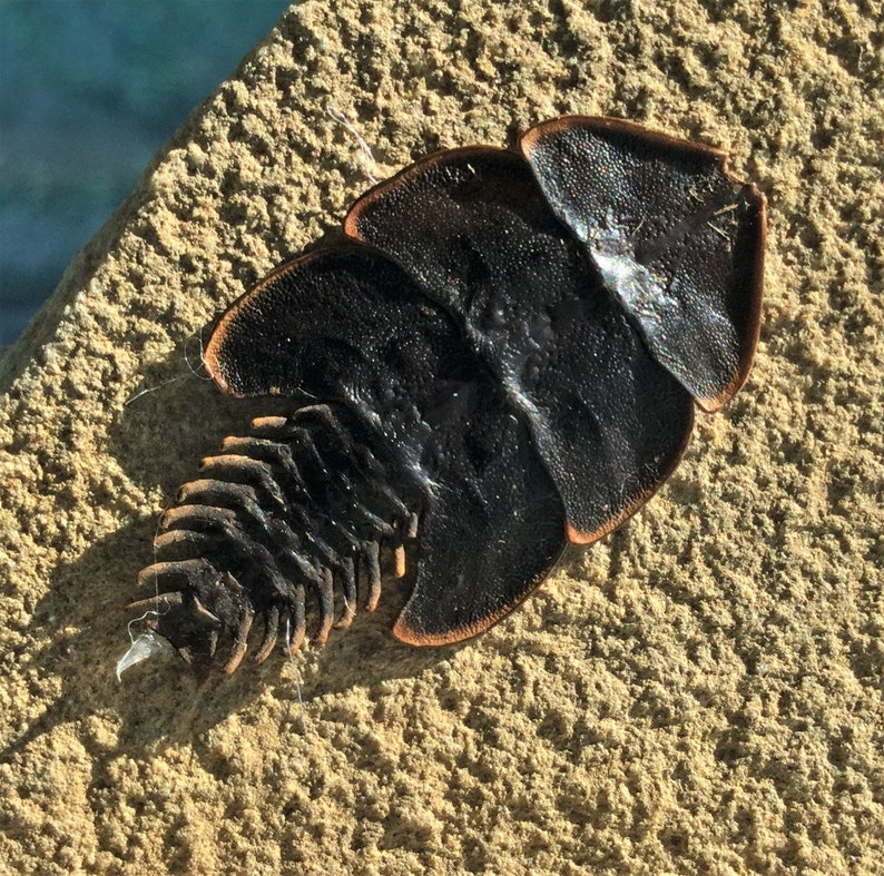 J33 Entomology Taxidermy Duliticola living fossil Beetle specimen Rock display