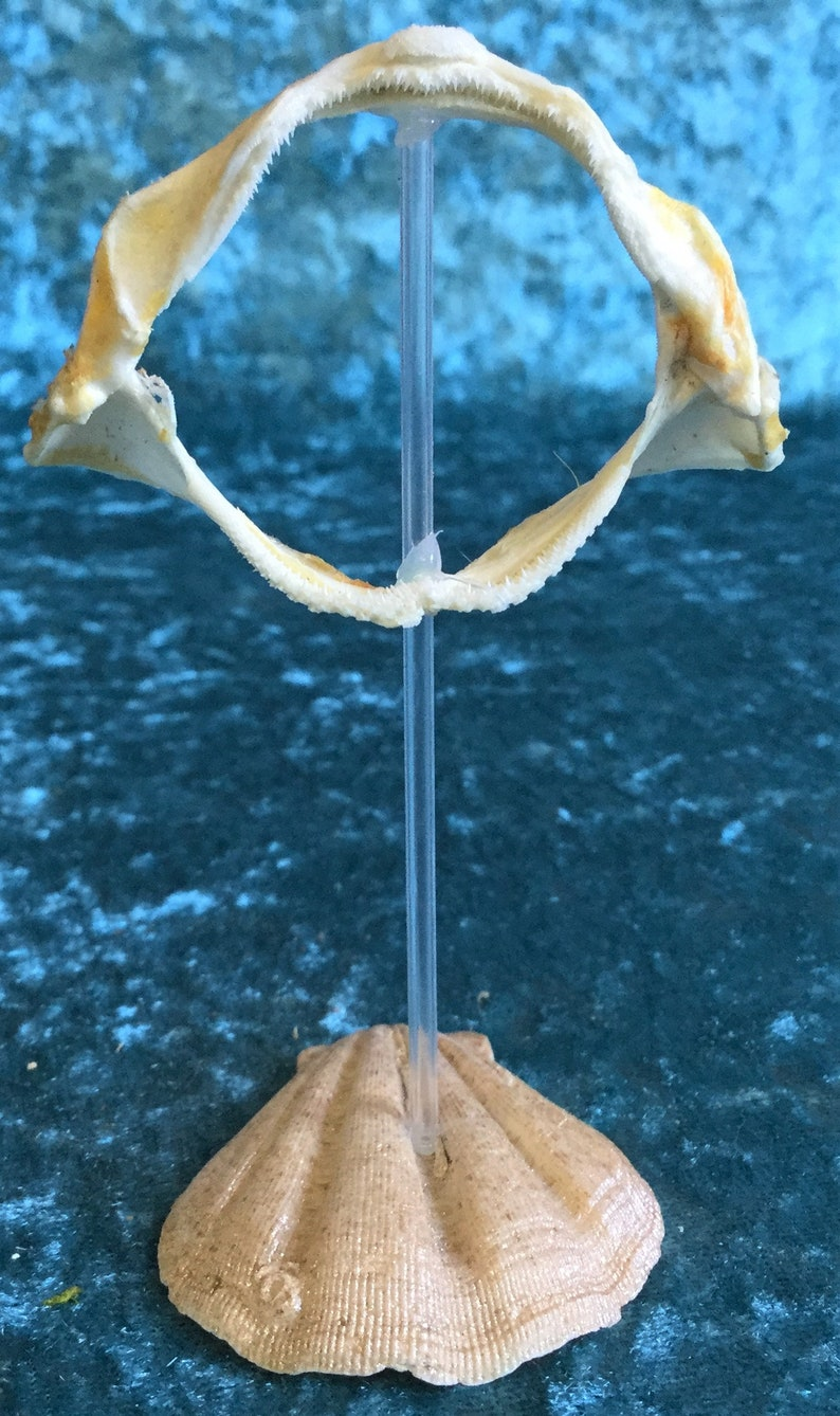 Real Shark Jaw Taxidermy Collectible In Museum Quality Display