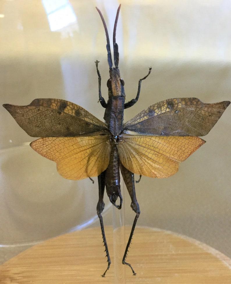 R41 Taxidermy Entomology Leaf Mimic Grasshopper wing spread Glass Dome Display specimen