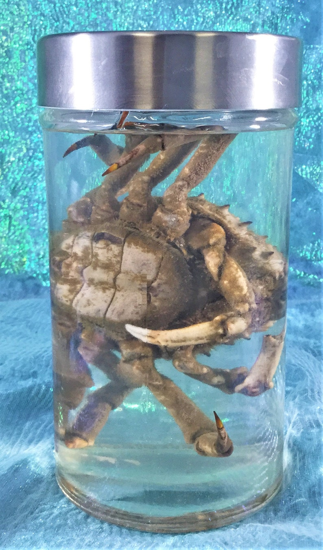 wet specimen collectible specimen jar display oddity curiosity cabinet aquatic Crab #1  Large Toad  Crab specimen Wet Specimen Nautical
