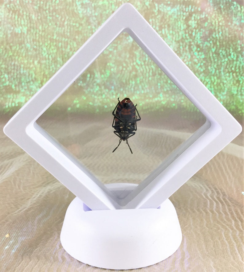 t6b Entomology Taxidermy Man Faced Beetle framed display Specimen Collectible insect bug decor
