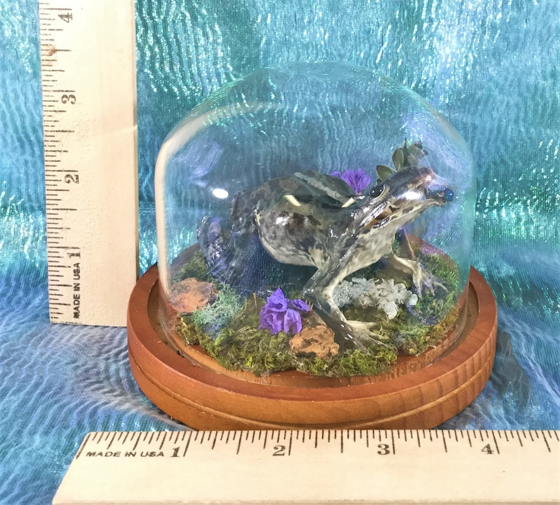 Q10 Taxidermy Frog Fejervarya Limnocharis Glass dome Display Collectible toad specimen Antique Victorian Style