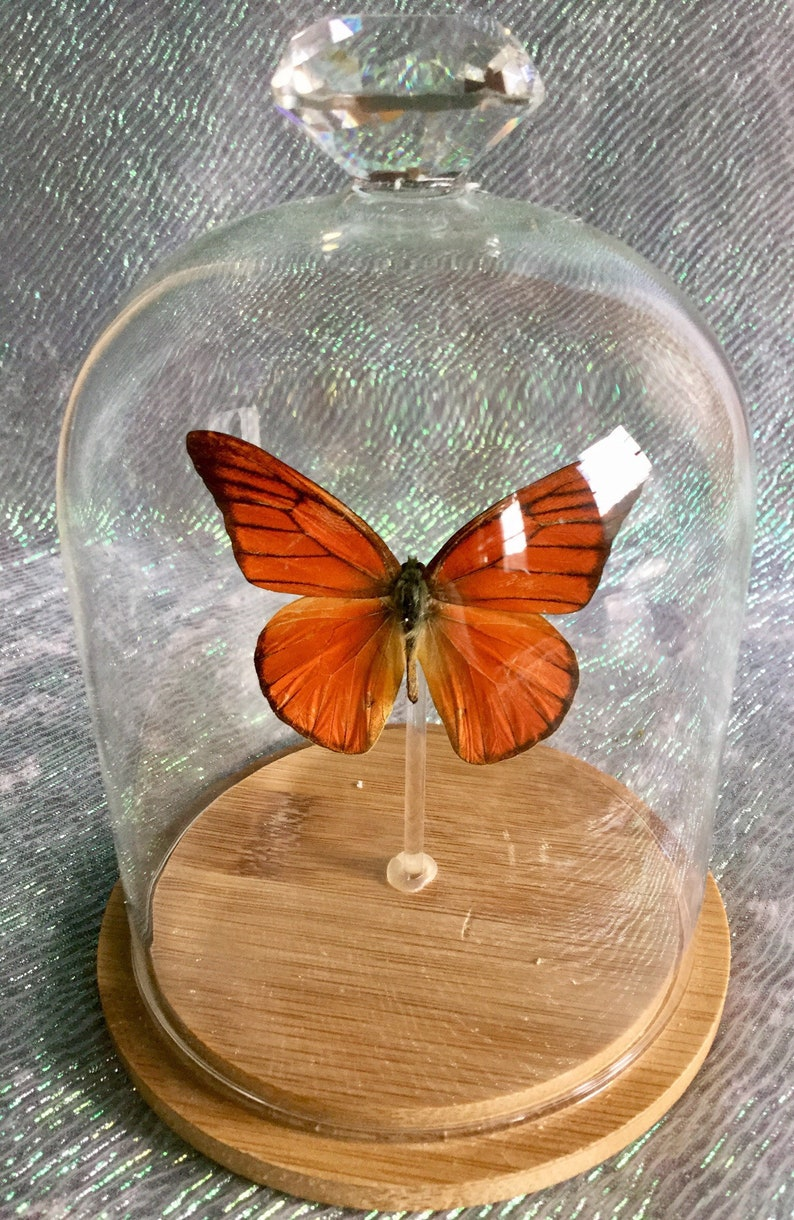 BF08 Taxidermy Entomology Butterfly Specimen Glass Dome Dsply insect collectible