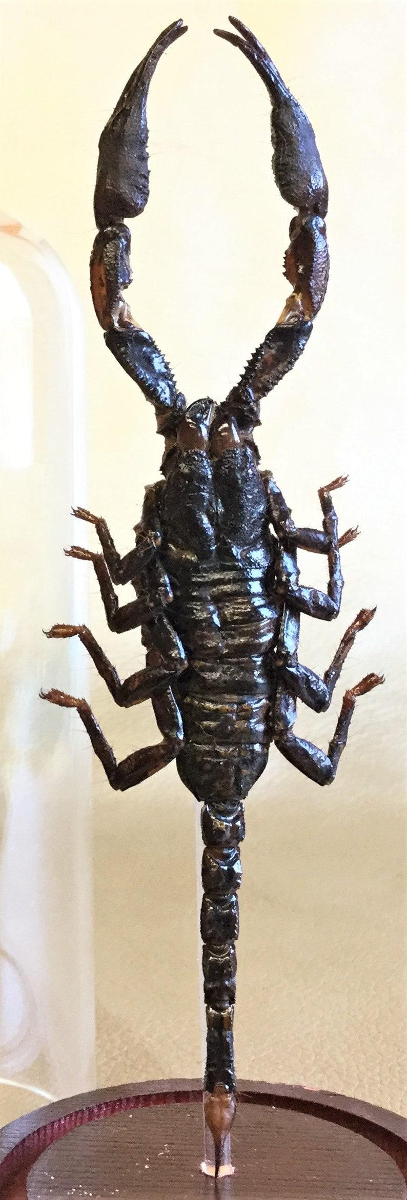 Liophysa collectible specimen educational curiosity Q38c  Taxidermy Entomology Lg Black Scorpion Glass Dome Display H