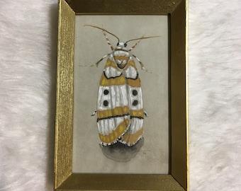 Original art: Cyana moth in gold frame. Unique nature illustration.