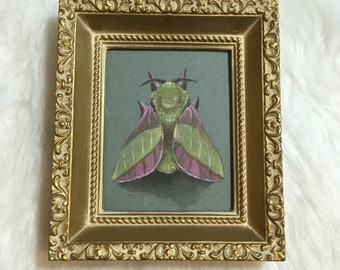 Original art: Dryocampa rubicunda, the rosy maple moth in vintage frame. Unique nature illustration.