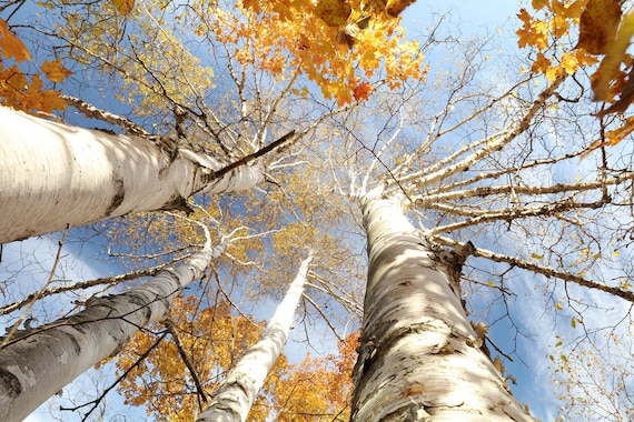 Canvas Wall Art Prints Fall Tree Autumn Birch Forest Photo Colorful Print Decor