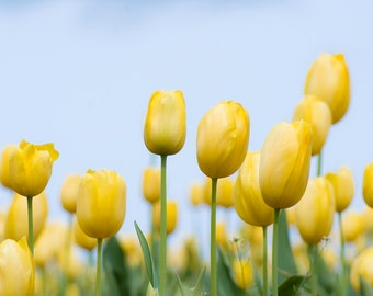 Yellow Tulips with blue sky