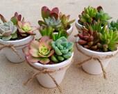 White Pot Succulent WEDDING Favors, Succulent Bridal Shower favor, Baby shower favor, Special Event Favor, Spring or summer