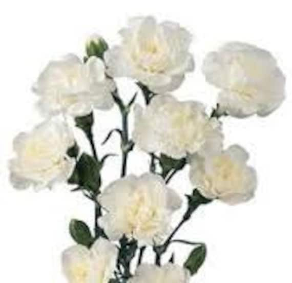 white carnation flower seeds 5 fresh seeds ready to plant in etsy