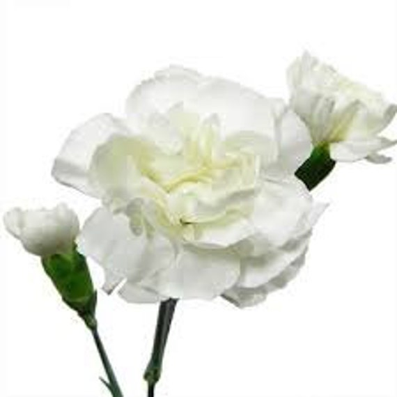 White carnation flower seeds 5 fresh seeds ready to plant in etsy image 0 mightylinksfo