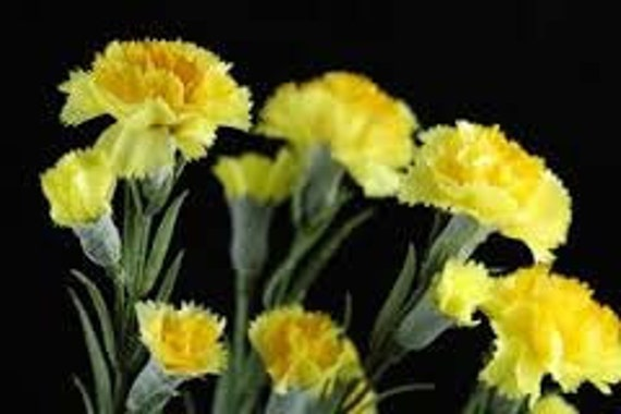Yellow Carnation Flower Seeds 5 Fresh Seeds Ready To Plant In Etsy