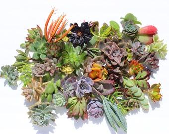 "Twenty  succulent cuttings 20 different 1-5"" large succulent clippings succulent kit succulent garden succulent starter kit"