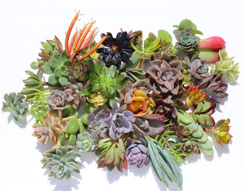 Twenty  succulent cuttings 20 different 1-5 large image 0