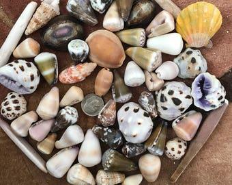 Hawaiian shells large