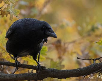 Fall Foliage with Carrion Crow in London - Nature and Wildlife Photography Wall Art - Seasonal Autumn Oak Tree - Wild in the Fall