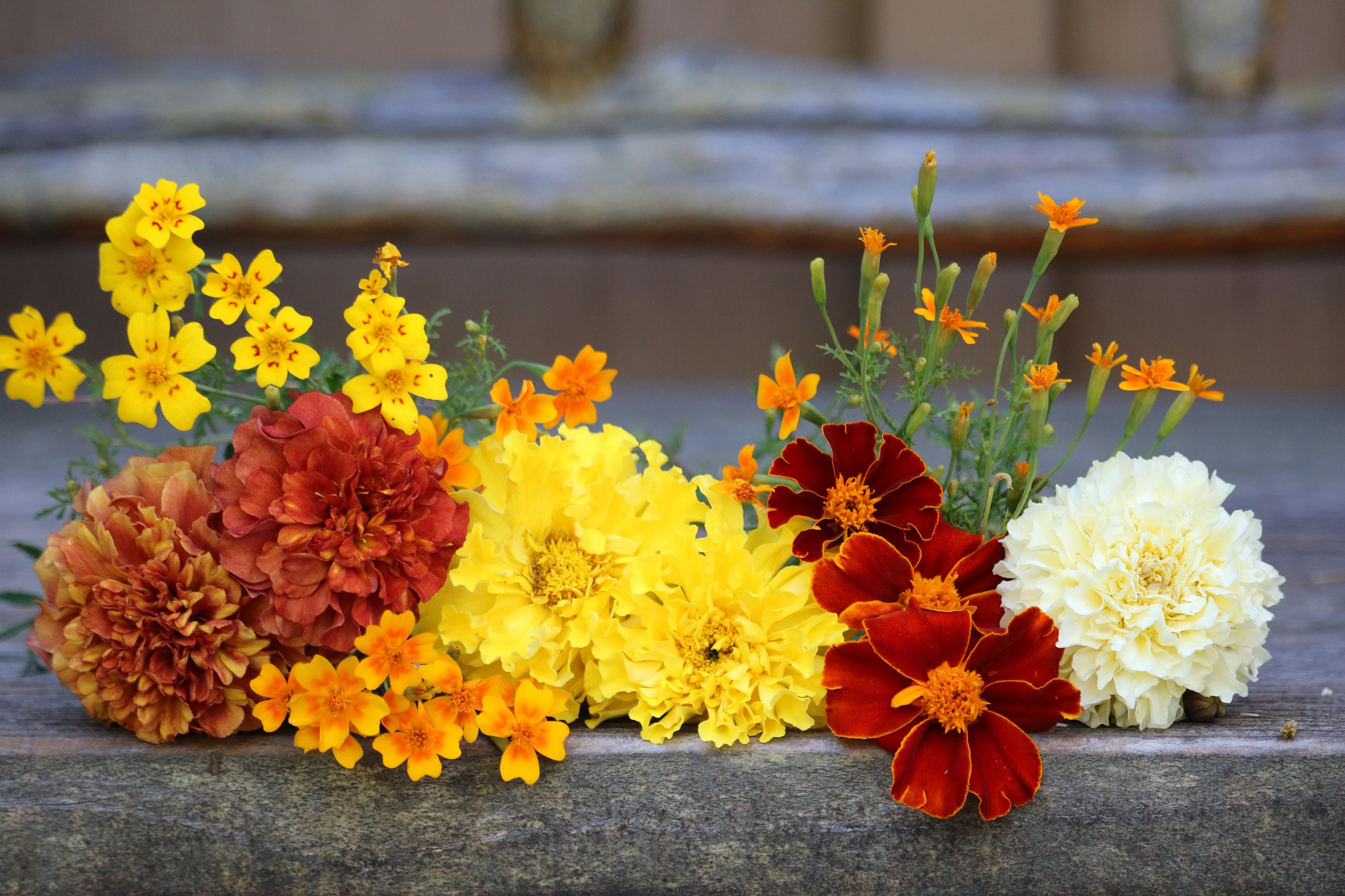 5 Antique Flowers Variety Pack Marigold Seeds Annual Flower Etsy