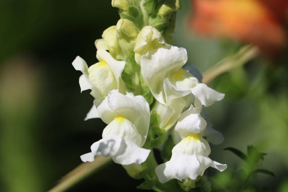 White snapdragon seeds annual flower seed wedding flower etsy image 0 mightylinksfo