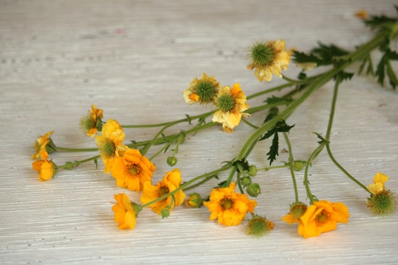 Yellow geum flower seed perennial flower seeds yellow etsy image 0 mightylinksfo