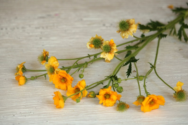 Yellow Geum Flower Seed Perennial Flower Seeds Yellow Etsy