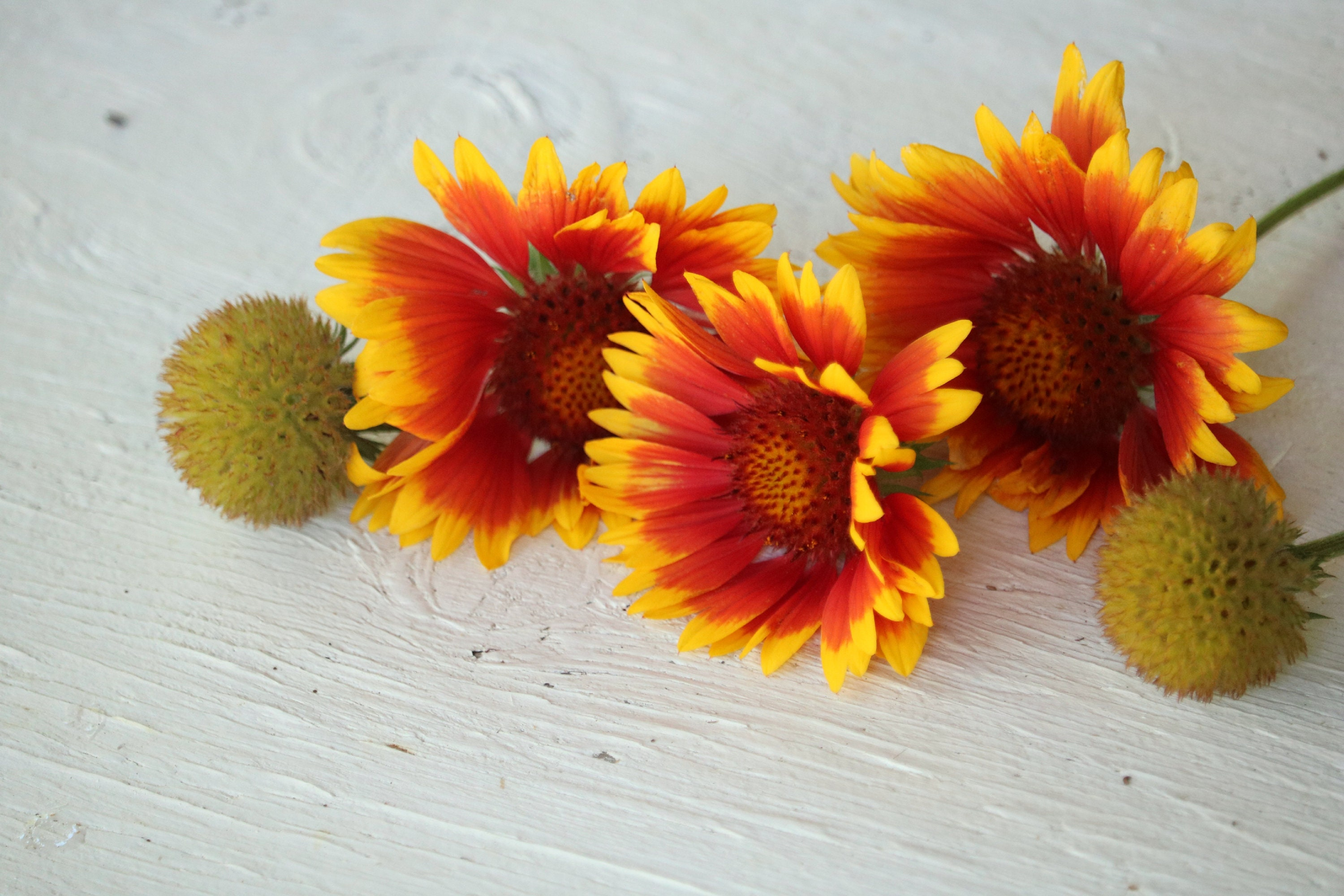 Blanket Flower Seeds Perennial Flower Seeds Gaillardia Etsy
