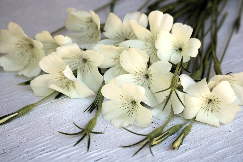 White Corncockle Flower Seeds White Agrostemma Seeds Annual Etsy