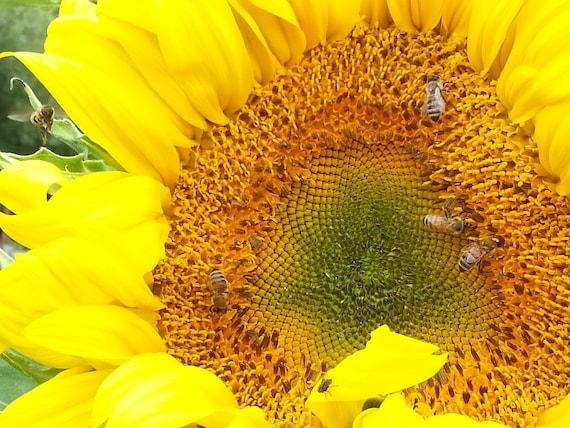 5 packets of heirloom Sunflower seeds, cut flower seeds, sunflower ...
